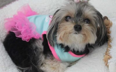 AD0PTED – 2 YO Teacup Yorkie For Private Adoption – Meet Belle