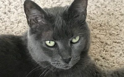 ADOPTED! CC the Russian Blue Has Found Her Forever Home in Texas